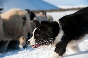Border Collie Sheepdog herding a flock of Swaledale sheep in the snow.
