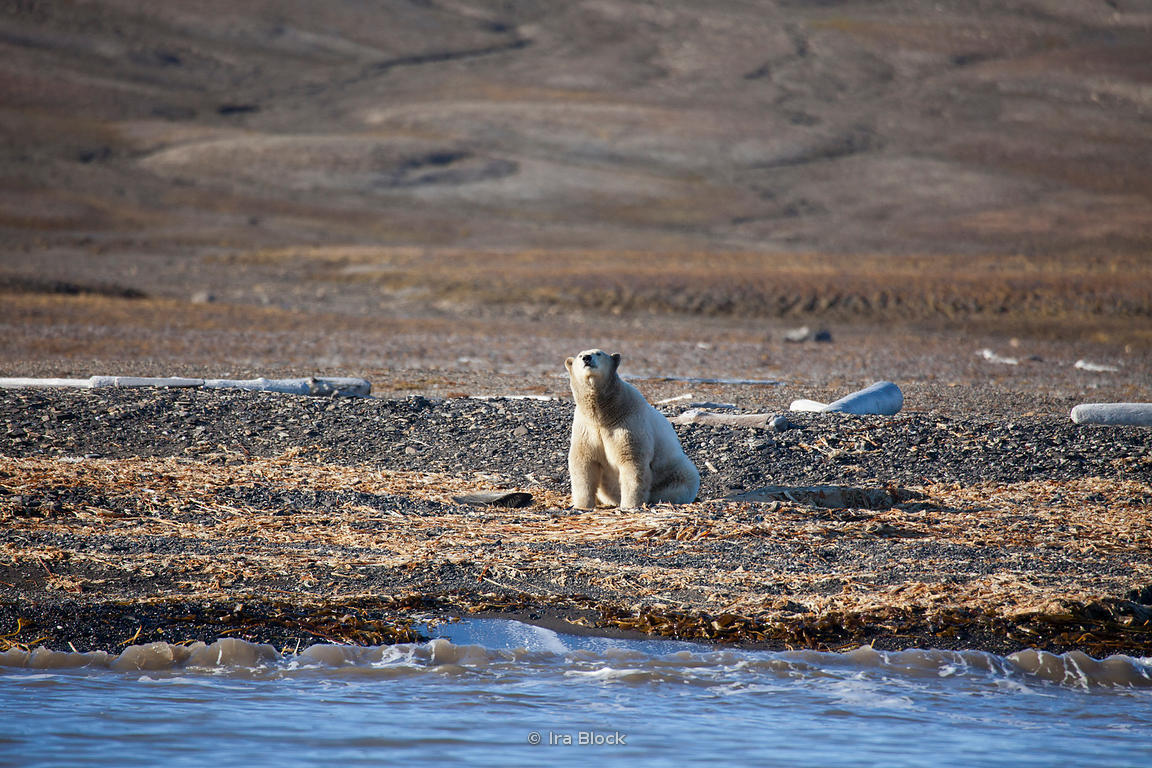 A polar polar bear walking on the beach of Edgoya, a large island in the southeast of Svalbard, Norway.