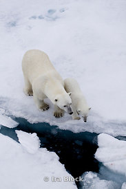 A mother polar bear and her cub glance down into the icy waters of Storfjorden.