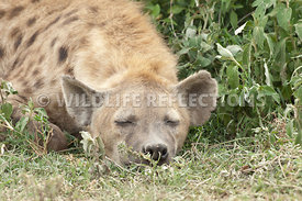 hyena_sleepy_green_brush_1