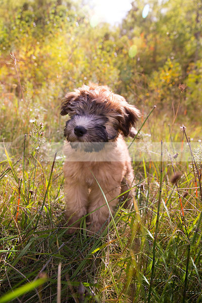 cute scruffy tan puppy standing in clearing with sunshine