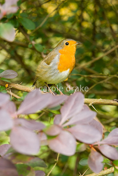 Robin in Berberis x ottawensis f. purpurea 'Superba'. Sir Harold Hillier Gardens/Hampshire County Council, Romsey, Hants, UK