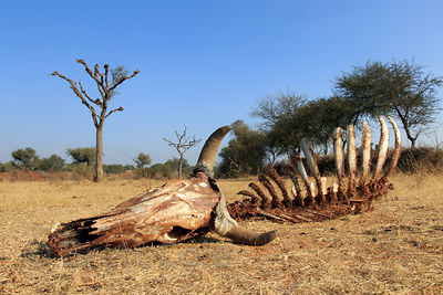 Cow skeleton in the desert in Baroon village - aka the middle of nowhere, Rajasthan, India