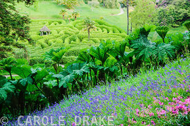 Grassy meadow full of bluebells and fallen rhododendron petals frames a view of the laurel maze above a stand of Gunnera manicata. Glendurgan, Mawnan Smith, Falmouth, Cornwall, UK