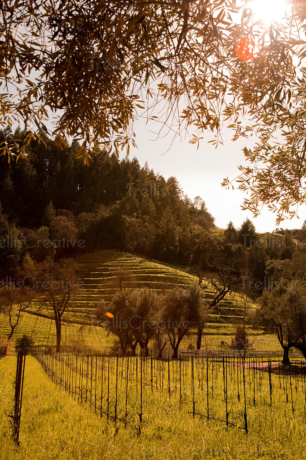 The sun shines a warm light through mature olive trees in a  Spring Mountain appellation vineyard