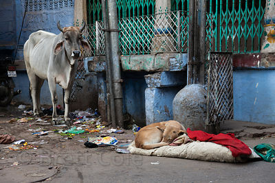 Sleeping dog in Jodhpur, Rajasthan, India