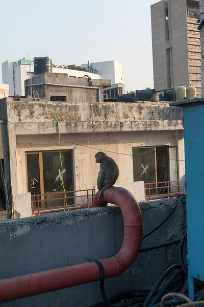India - New Delhi - A monkey on the terrace of the Indian Coffee House,