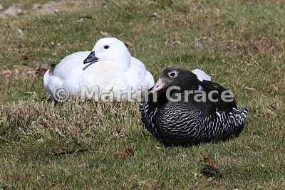 Pair of Kelp Geese (Chloephaga hybrida malvinarum) - male left and female right - Carcass Island, Falkland Islands