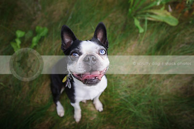 smiling boston terrier in grasses