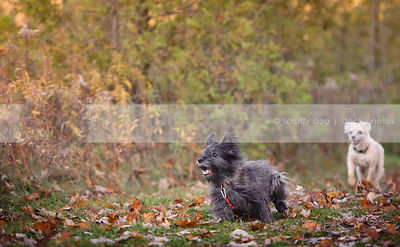 two little cairn terriers dogs racing in autumn leaves