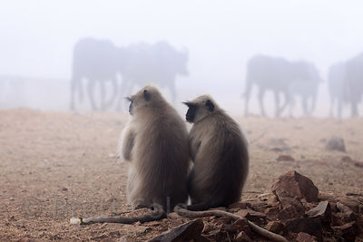 Langur monkeys hang out on a foggy morning watching cows go by, Pushkar, Rajasthan, India