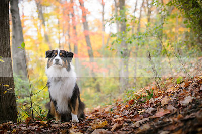 serious longhaired tricolor dog sitting on slope in autumn leaves