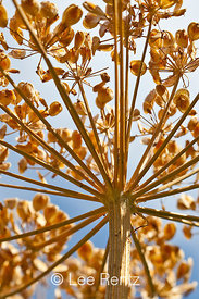 Umbel of Seeds of Kneeling Angelica in Olympic National Park