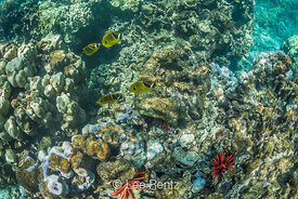 Raccoon Butterflyfish and Slate Pencil Urchins off Big Island of Hawaii