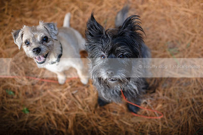 two scruffy terriers staring up