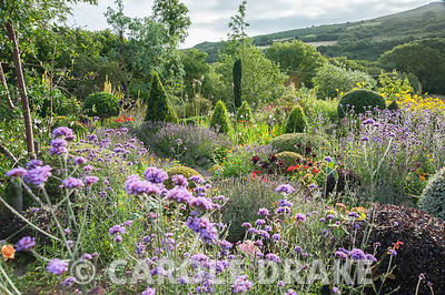 Viewed from above the Rickyard garden is a lush mix of clipped shrubs including yew, box, hebes and pittosporum mixed with Verbena bonariensis, Aeonium 'Zwartkop', scarlet pelargoniums and marigolds. Dyffryn Fernant, Fishguard, Pembrokeshire, Wales, UK