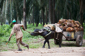 Palm Oil Production