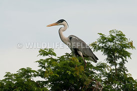 white-necked_heron_tree-02