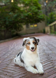 Grinning Australian Shepherd Lying on Brick Pathway