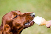 Irish setter eating ice cream