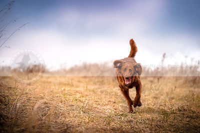red setter cross breed dog running in open field of dried grasses