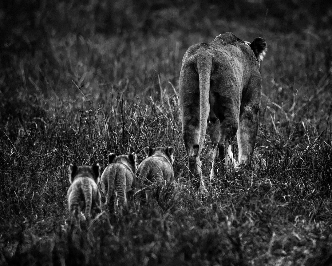 Lioness with 3 cubs, Kenya 2014 © Laurent Baheux