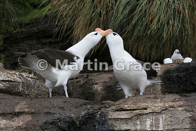 Pair of Black-Browed Albatross (Thalassarche melanophrys) displaying to reinforce their pair-bond, The Rookery, Saunders Island