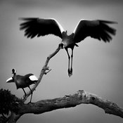 9227-Two_crowned_crane_in_a_tree_Laurent_Baheux
