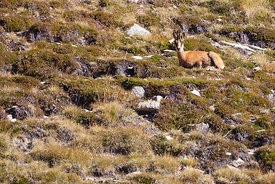 Chamois (Rupicapra rupicapra) resting in the slope of Pic de la Dona (2702 masl)
