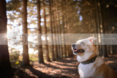 portrait of small blond chihuahua cross sitting in forest with sunflare