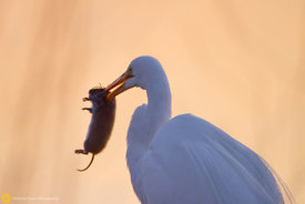 Great Egret Catches Dinner