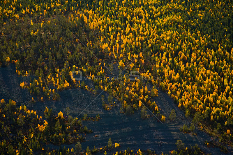 Aerial view of taiga woodland in autumn, Laponia / Lappland , Finland