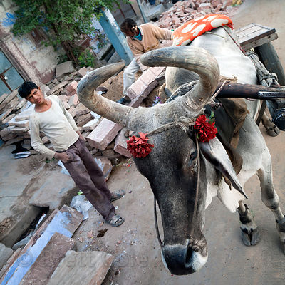 Bull at a construction site in Jodhpur, Rajasthan, India