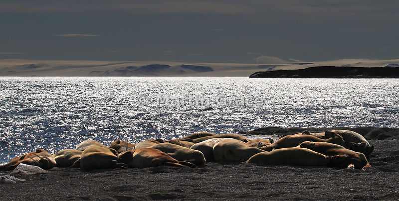 Backlit Walrus (Obodenus rosmarus) on the shore at Torellneset, Nordaustlandet, Svalbard, Arctic Norway
