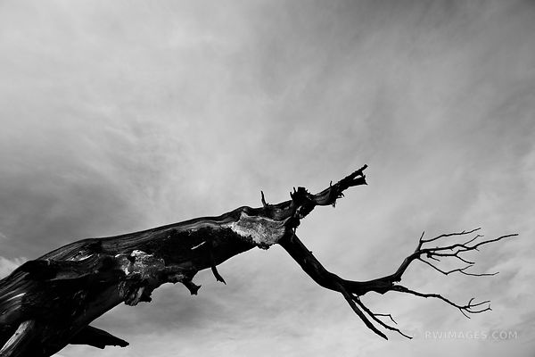NATURE ABSTRACT CHARRED BRISTLECONE PINE MOUNT GOLIATH COLORADO BLACK AND WHITE