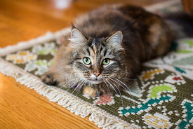 Long Haired Cat with Green Eyes on Carpet