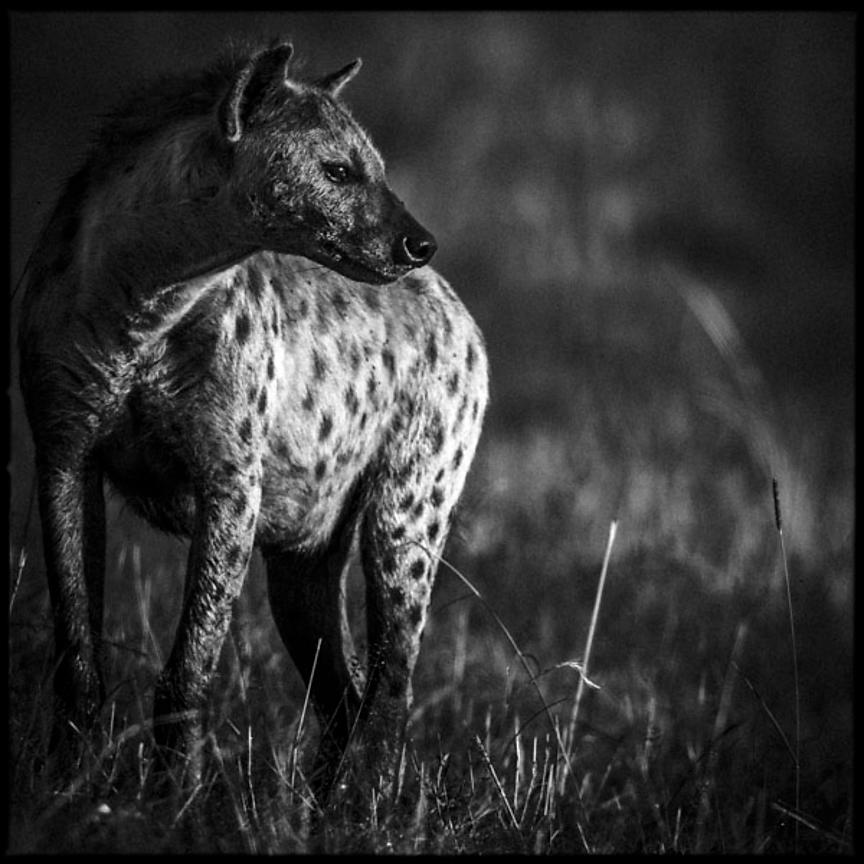 9490-Portrait_of_hyena_Kenya_2013_Laurent_Baheux