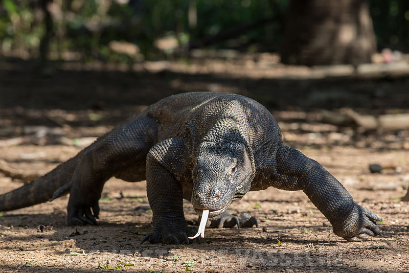 Varan de Komodo / Komodo dragon photos