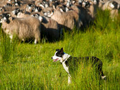 A sheepdog guards a flock of sheep.