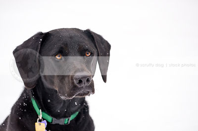 closeup headshot of intense black dog with minimal white background