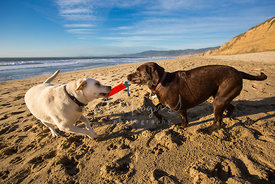 Two Labrador Retrievers Playing on Beach