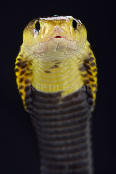 Samar spitting cobra (Naja samarensis) photos