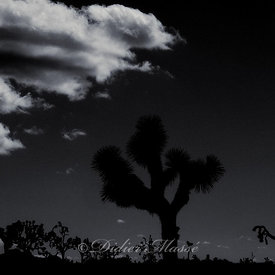 Arbre de Josué 4 Joshua Tree Park Californie USA 10/12