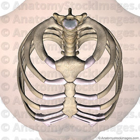 torso-ribcage-ribs-costae-costal-first-1th-rib-costotransverse-costovertebral-joint-sternum-front-skin