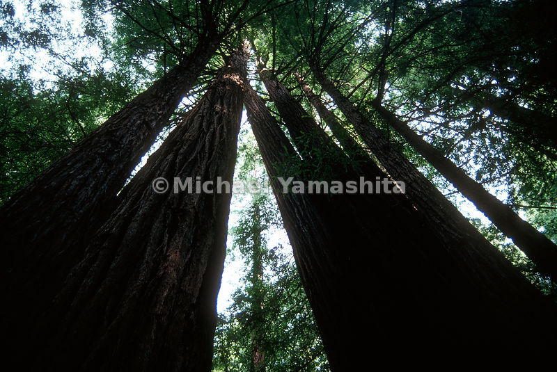 Muir Woods.Marin County, California