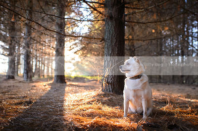 small blond alert dog sitting in backlit pine forest