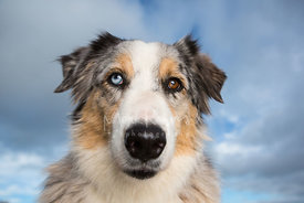Blue Merle Australian Shepherd Dog Close-up Against Blue Sky