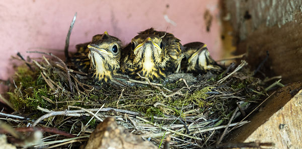 Thrush and Chicks