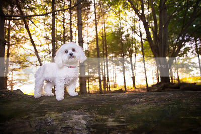 sweet small groomed white dog standing on log in pine trees