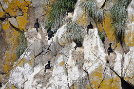 Pelagic Cormorants nesting on Round Island